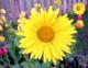 Lysende_gult